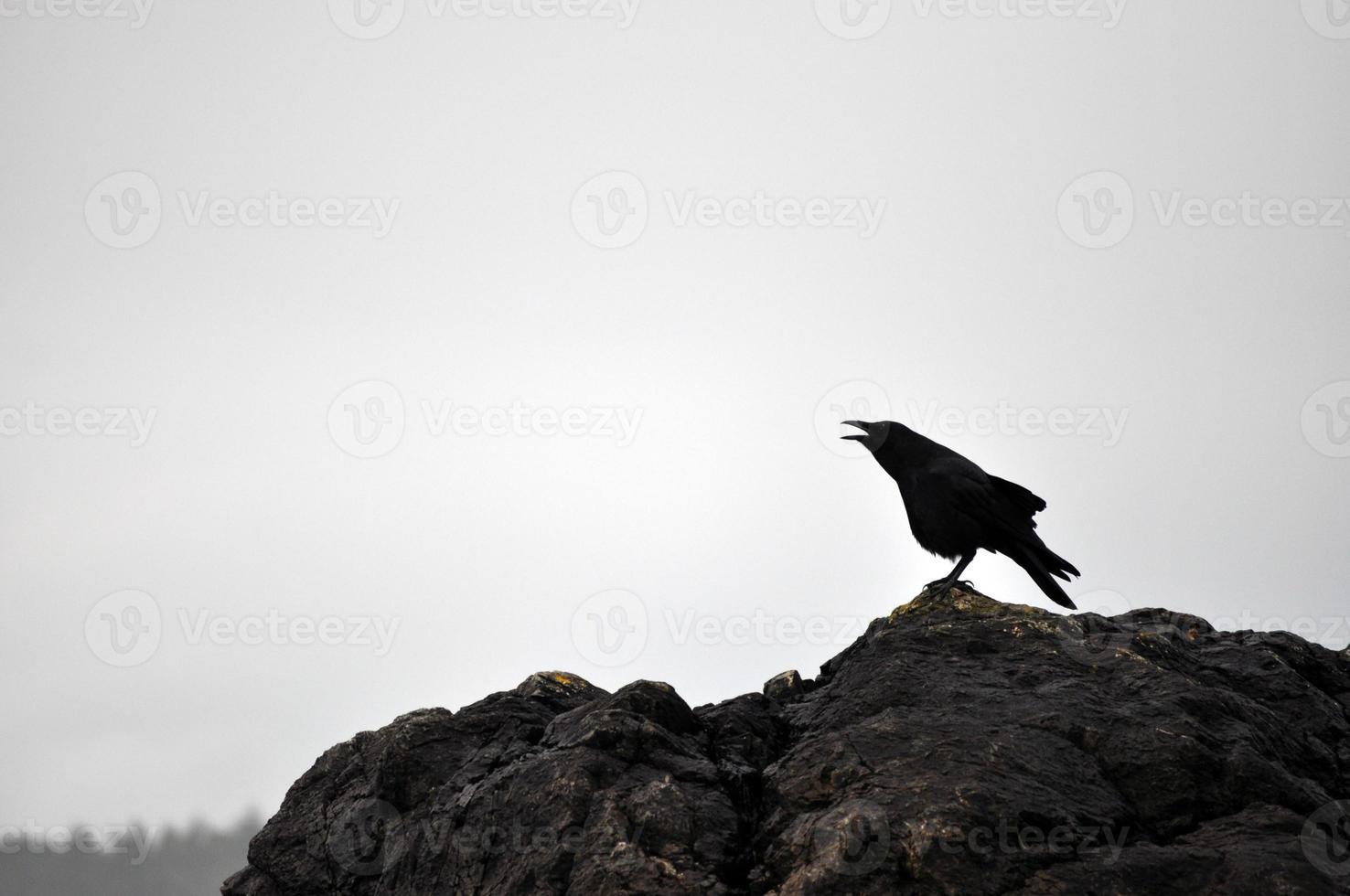 cuervo del noroeste en el parque nacional de pacific rim foto