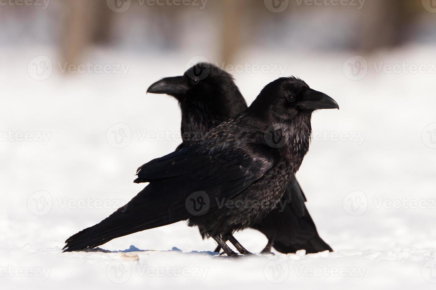cuervos foto