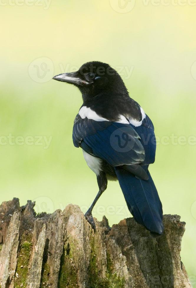 European Magpies (pica pica) perched on tree stump photo