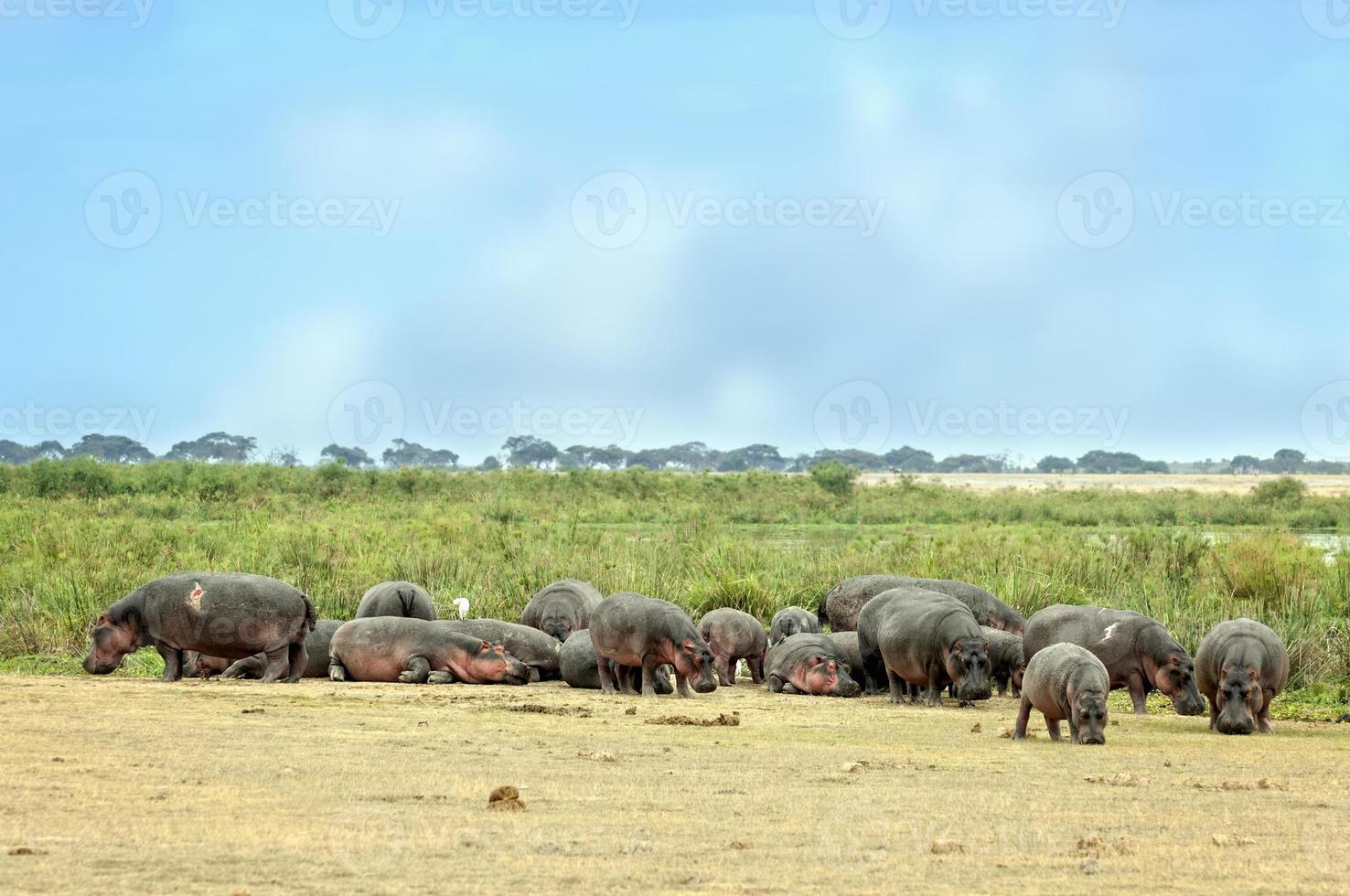 hippopotamuses bask  on the sun in front of swamp photo