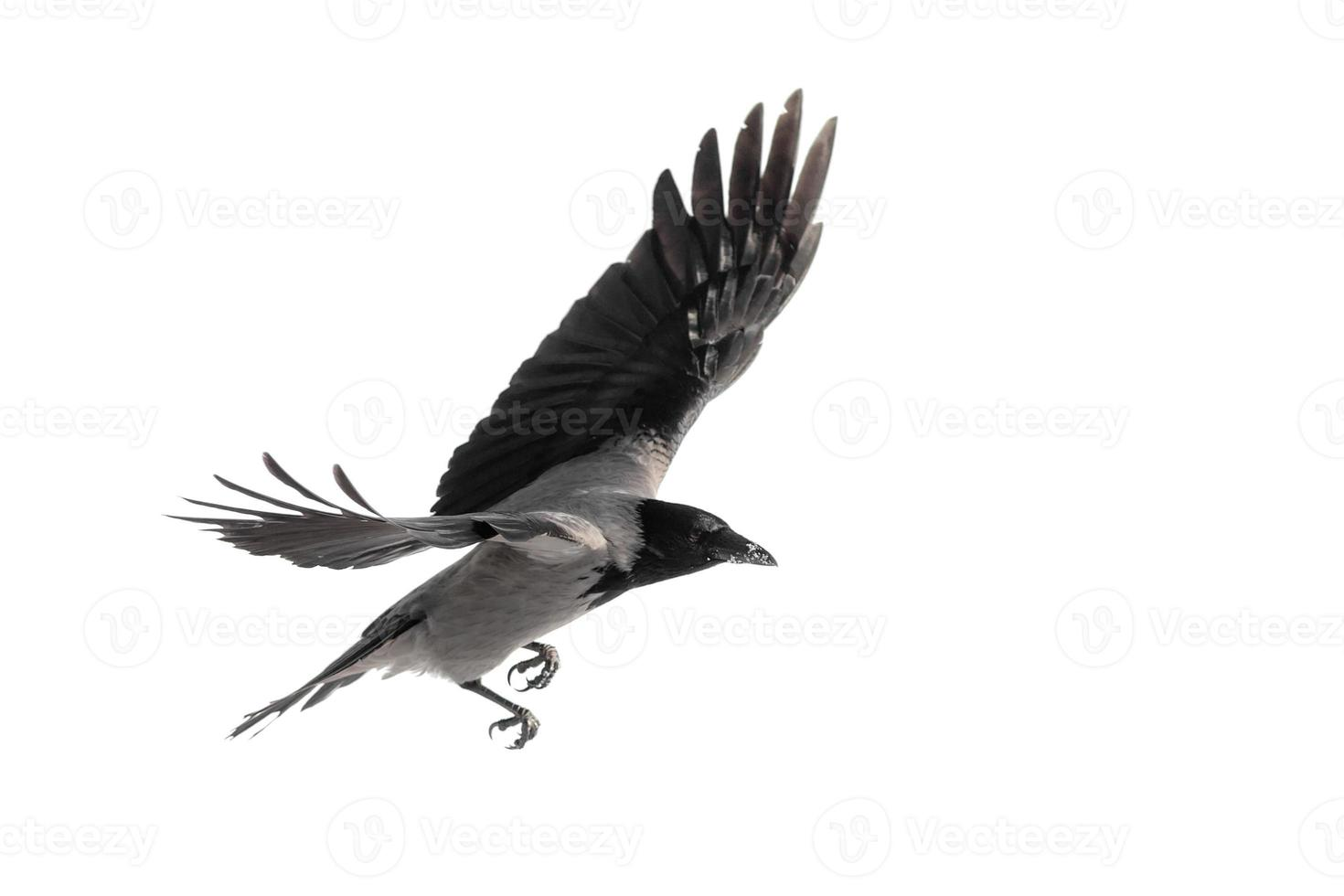 cuervo en vuelo foto