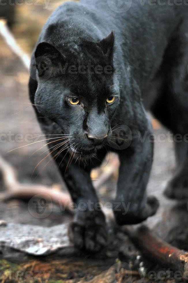 leopardo negro foto