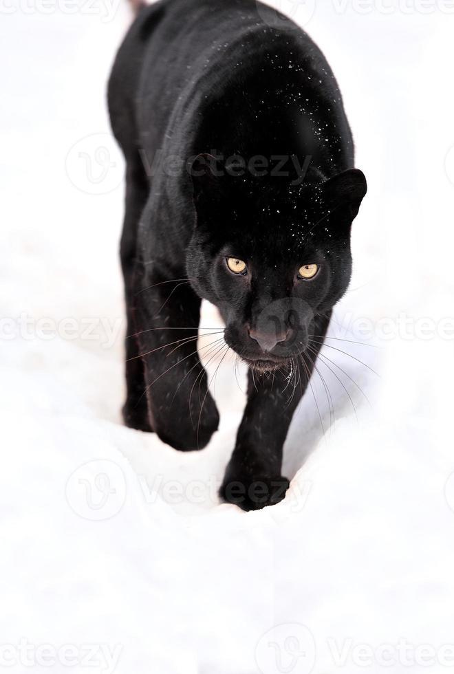 Retrato de pantera negra sobre fondo blanco. foto
