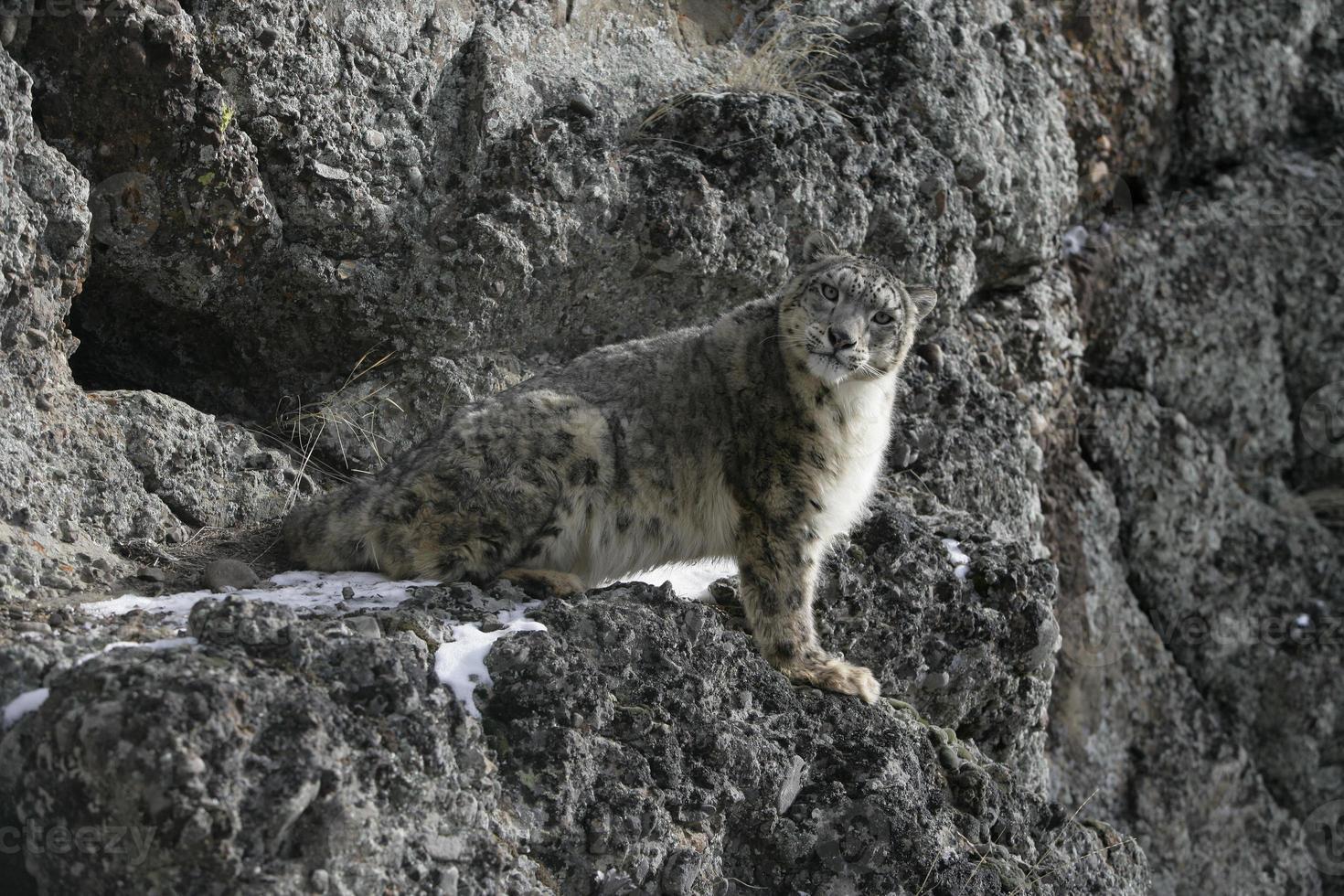 leopardo de las nieves, uncia unciaa foto