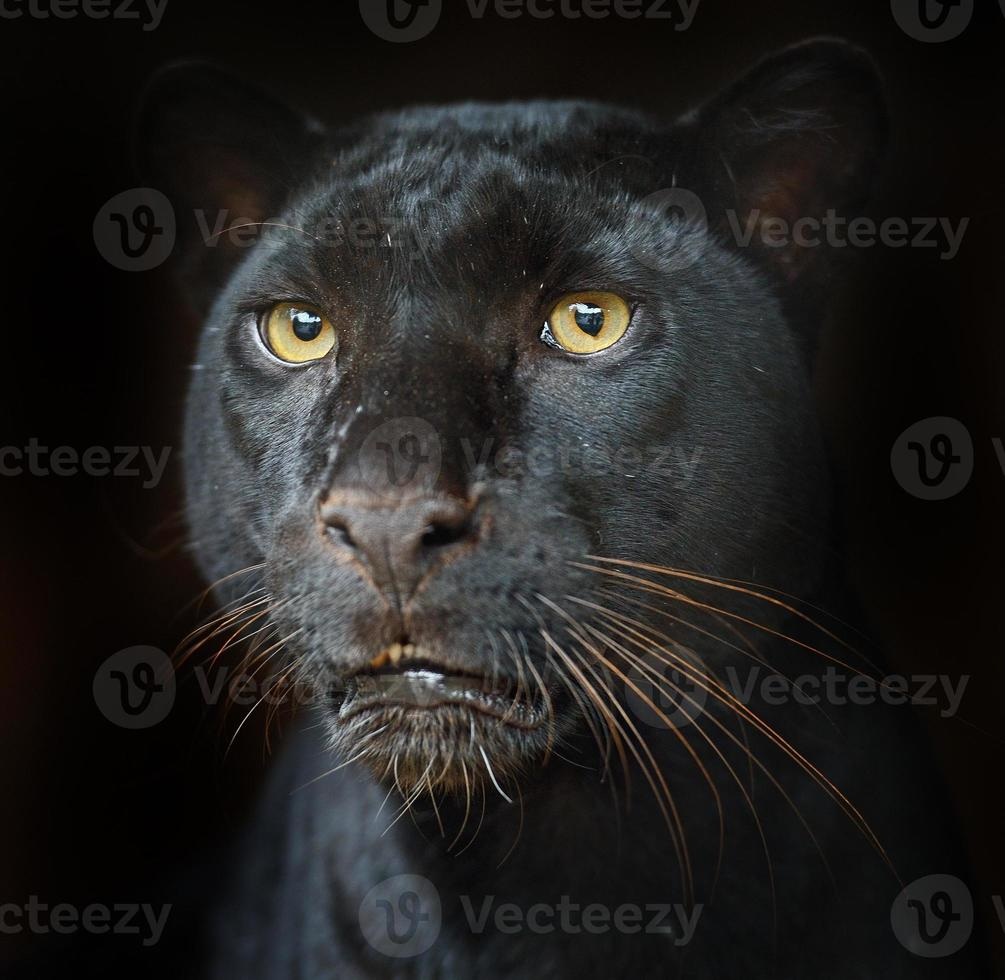 retrato leopardo foto