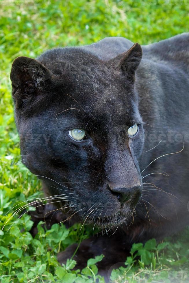 primer plano de leopardo negro foto