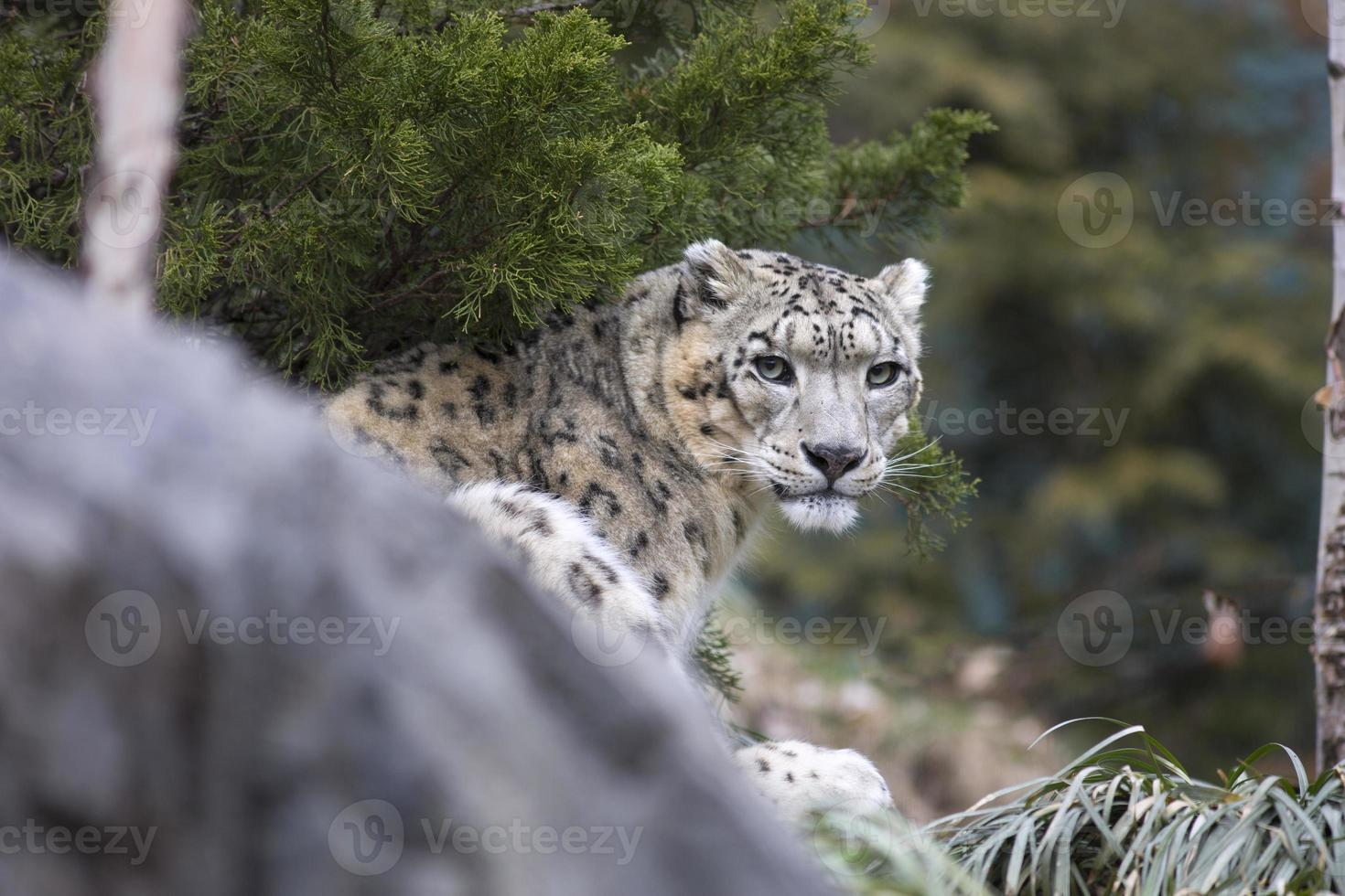 Retrato de adulto leopardo de las nieves panthera uncia foto