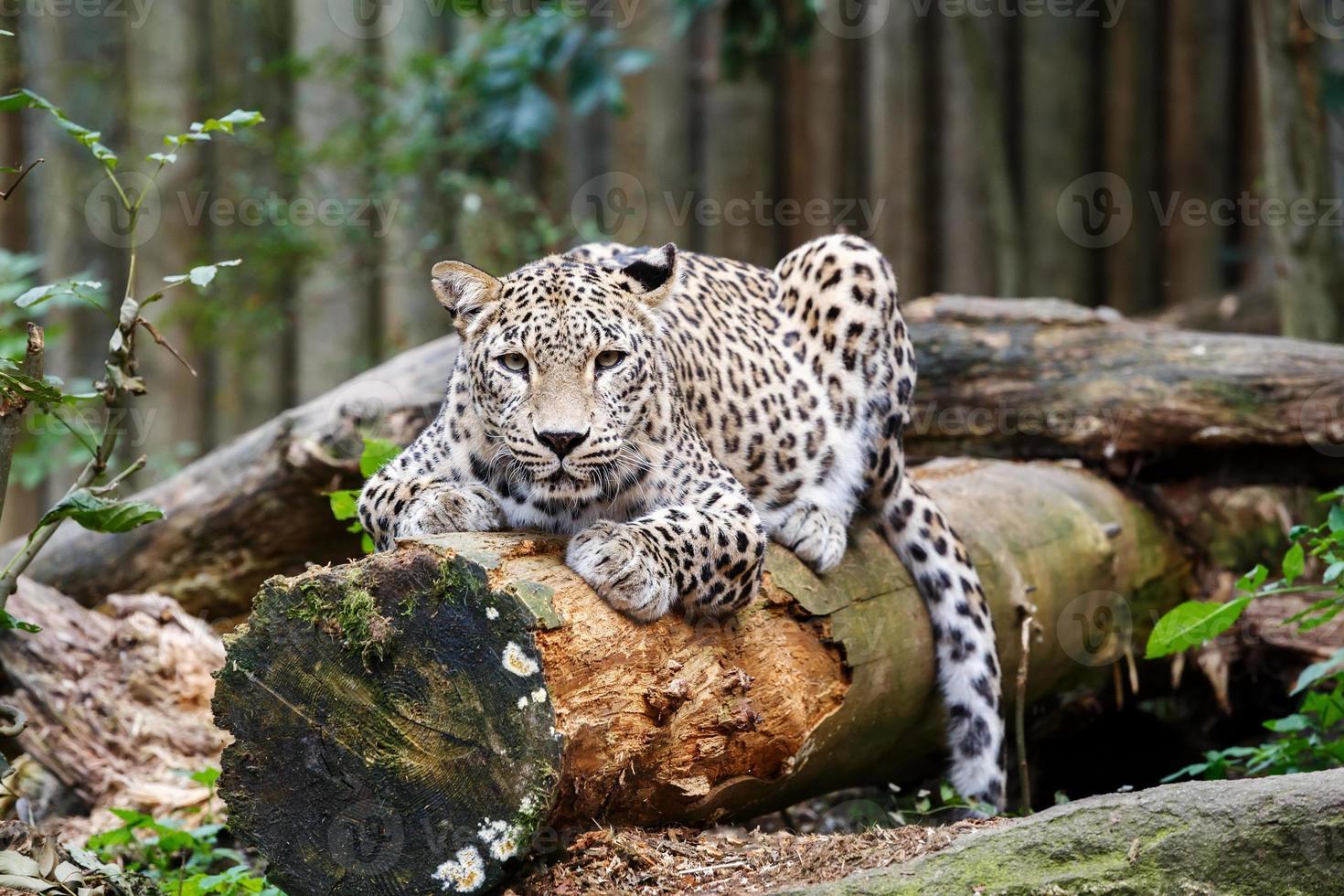 Snow Leopard irbis (panthera uncia) mirando hacia el futuro foto