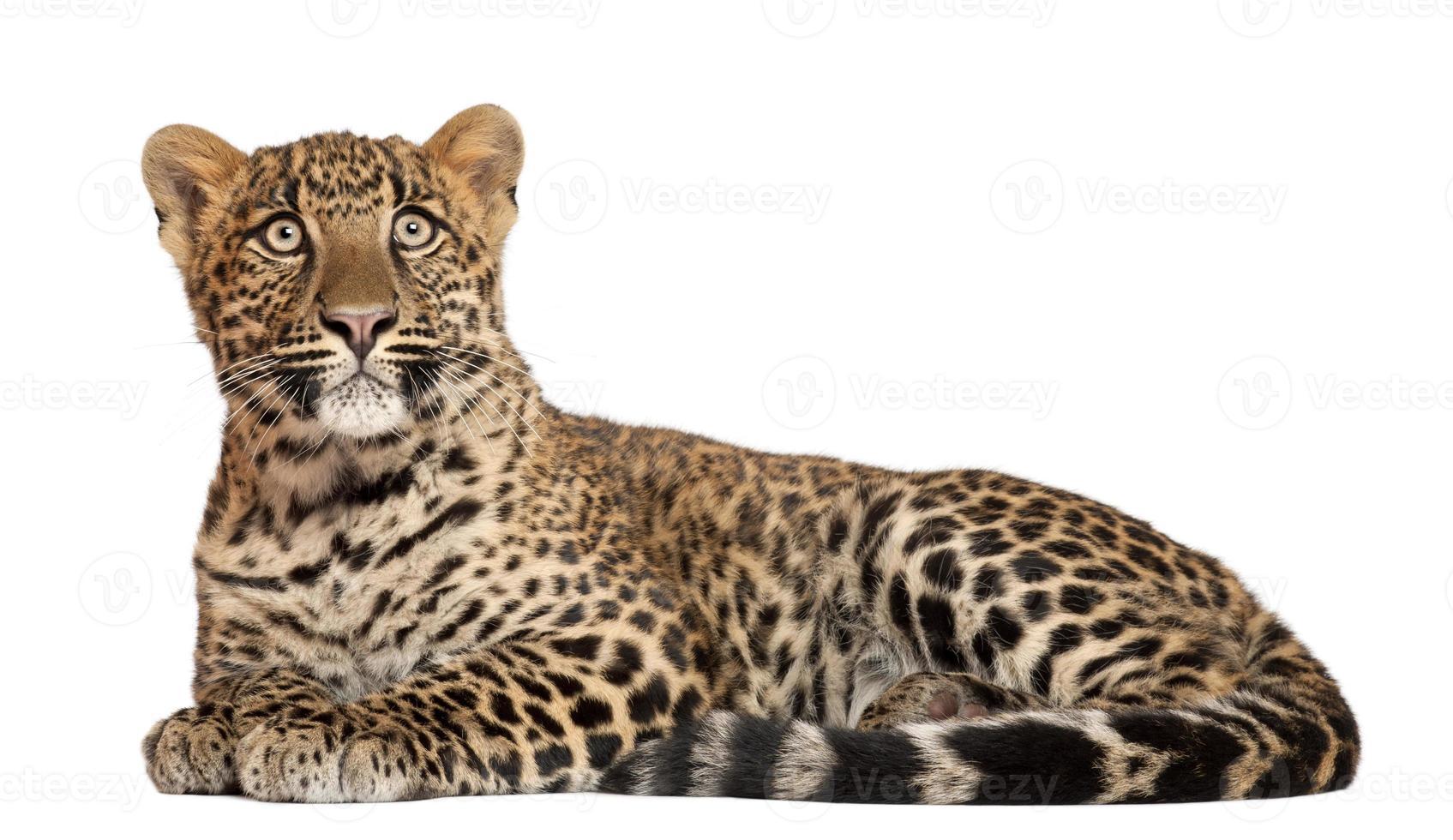leopardo, panthera pardus acostado isoltaed en blanco foto