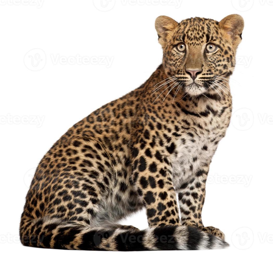 leopardo, panthera pardus, seis meses de edad, sentado, fondo blanco. foto