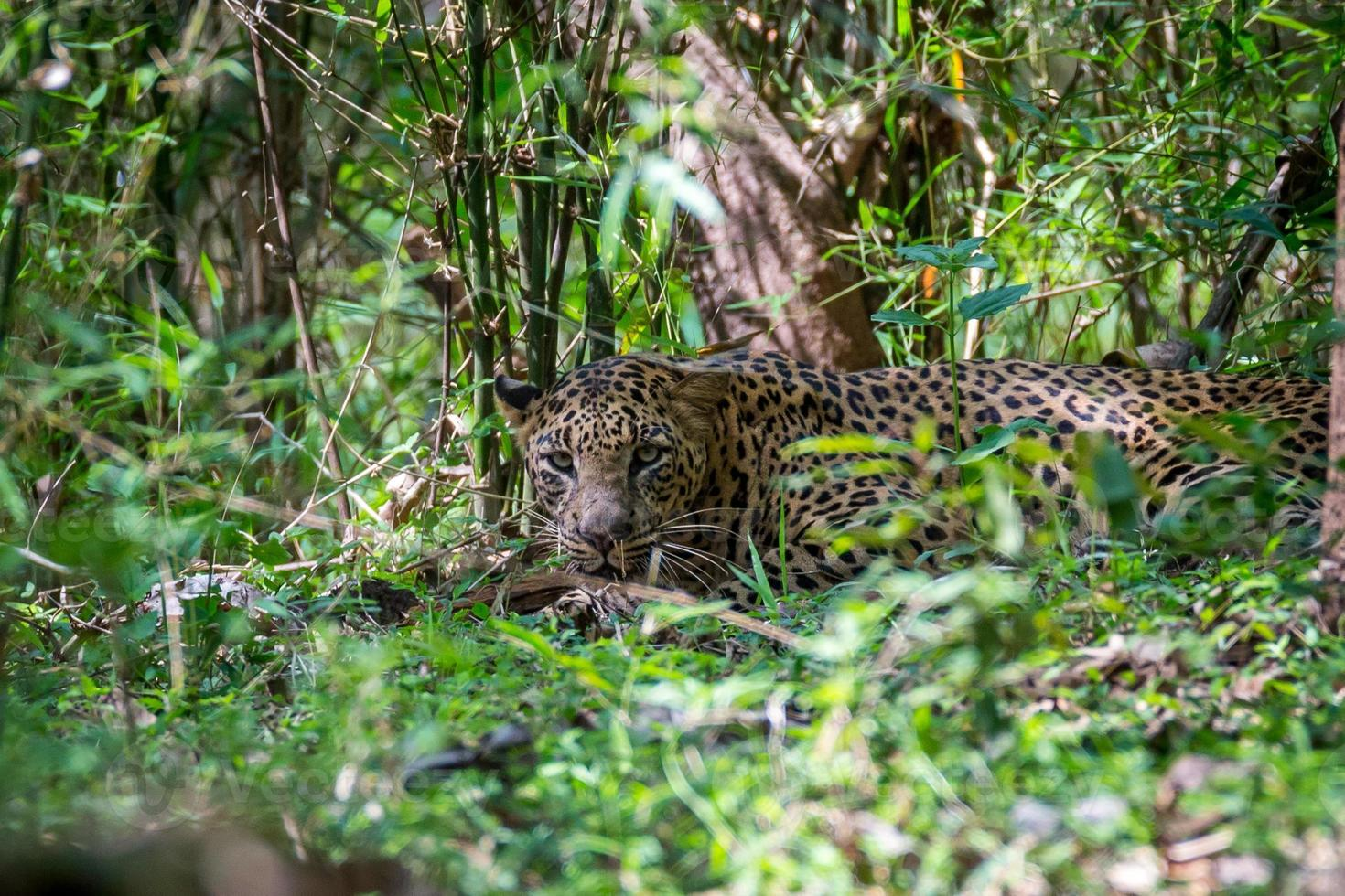 leopardo sigiloso foto