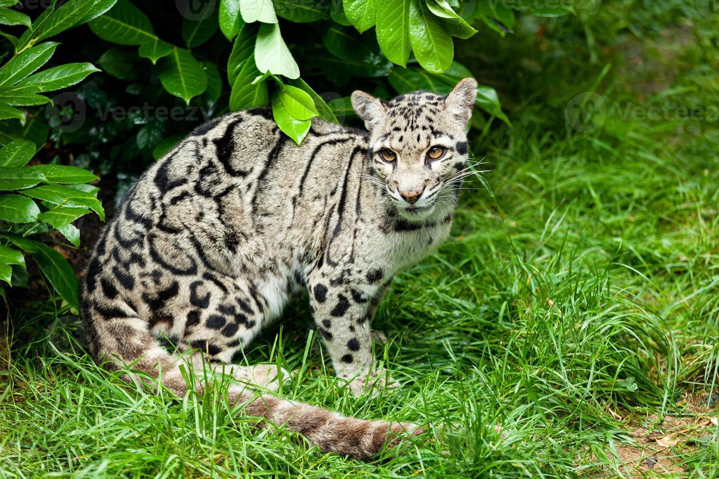 leopardo nublado hembra sentado bajo bush foto