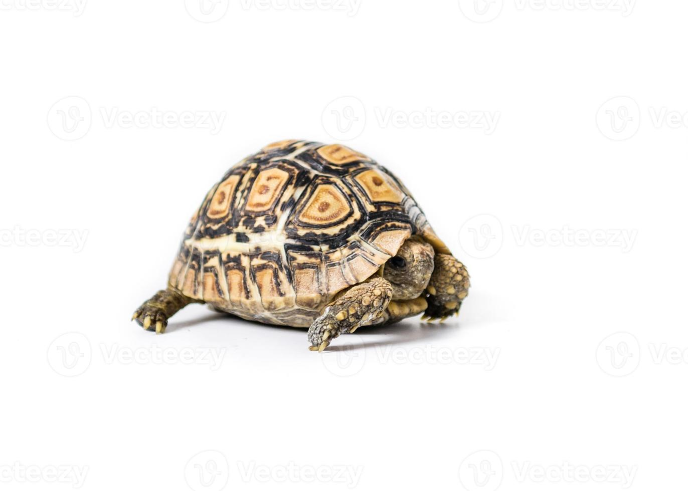 Pet Tortoise photo