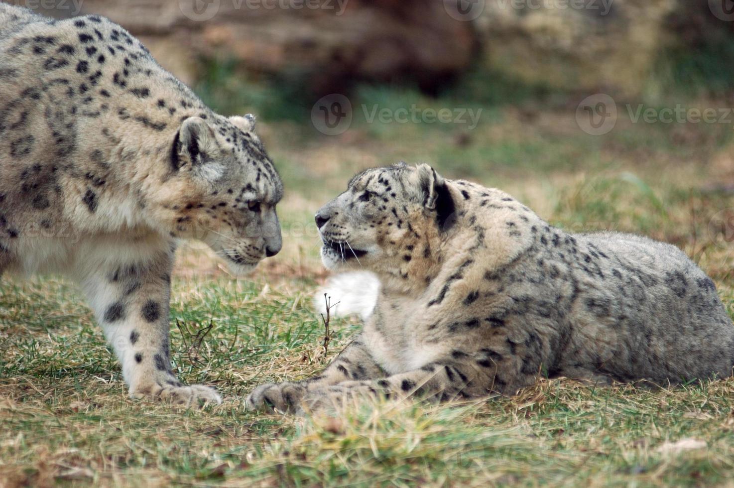 par de leopardo de las nieves foto