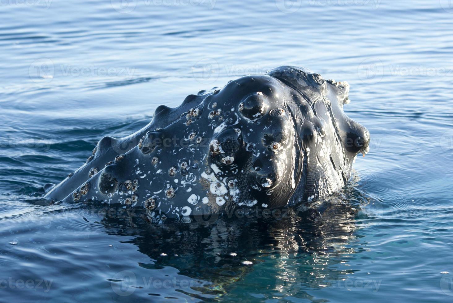 cabeza de ballena jorobada-2. foto