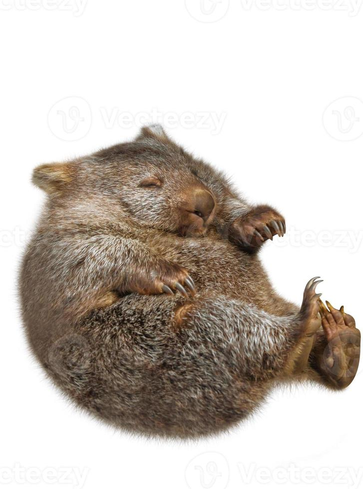 pequeño wombat australia foto