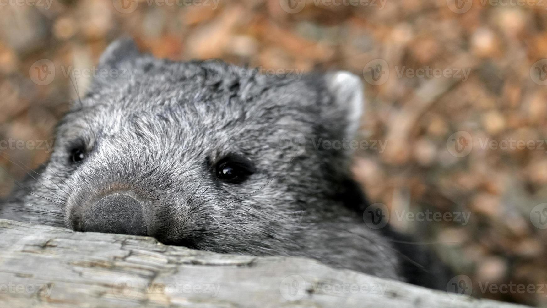 Wombat furtivo mirando por encima de la valla foto