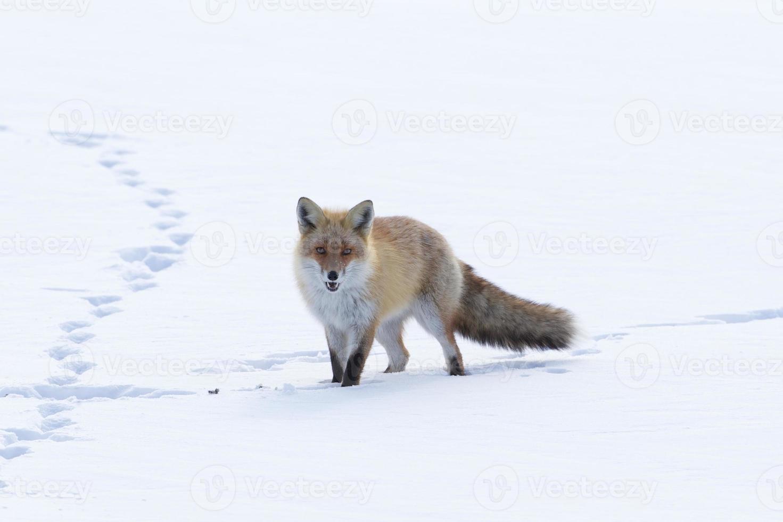 zorro caminando por la nieve foto
