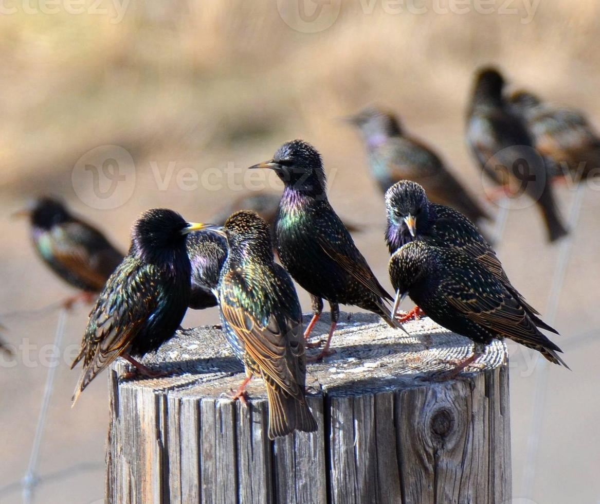 reunión de starling foto