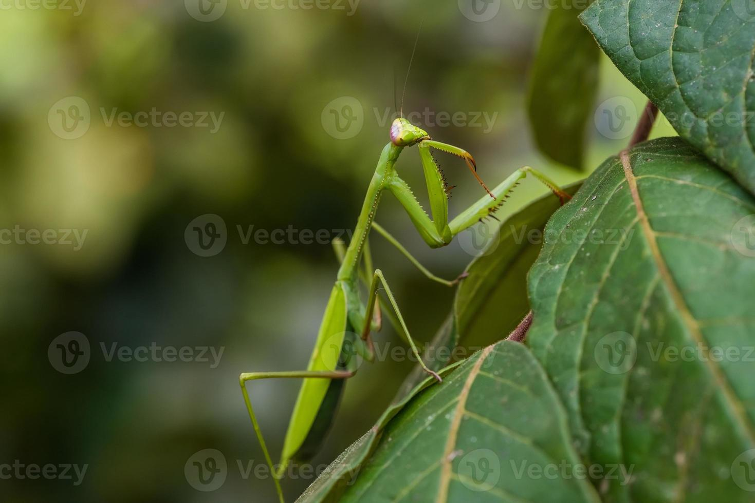 praying mantis peruvian amazon jungle Madre de Dios photo