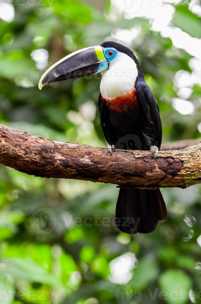 hermoso azul verde rojo blanco negro tucán pájaro foto