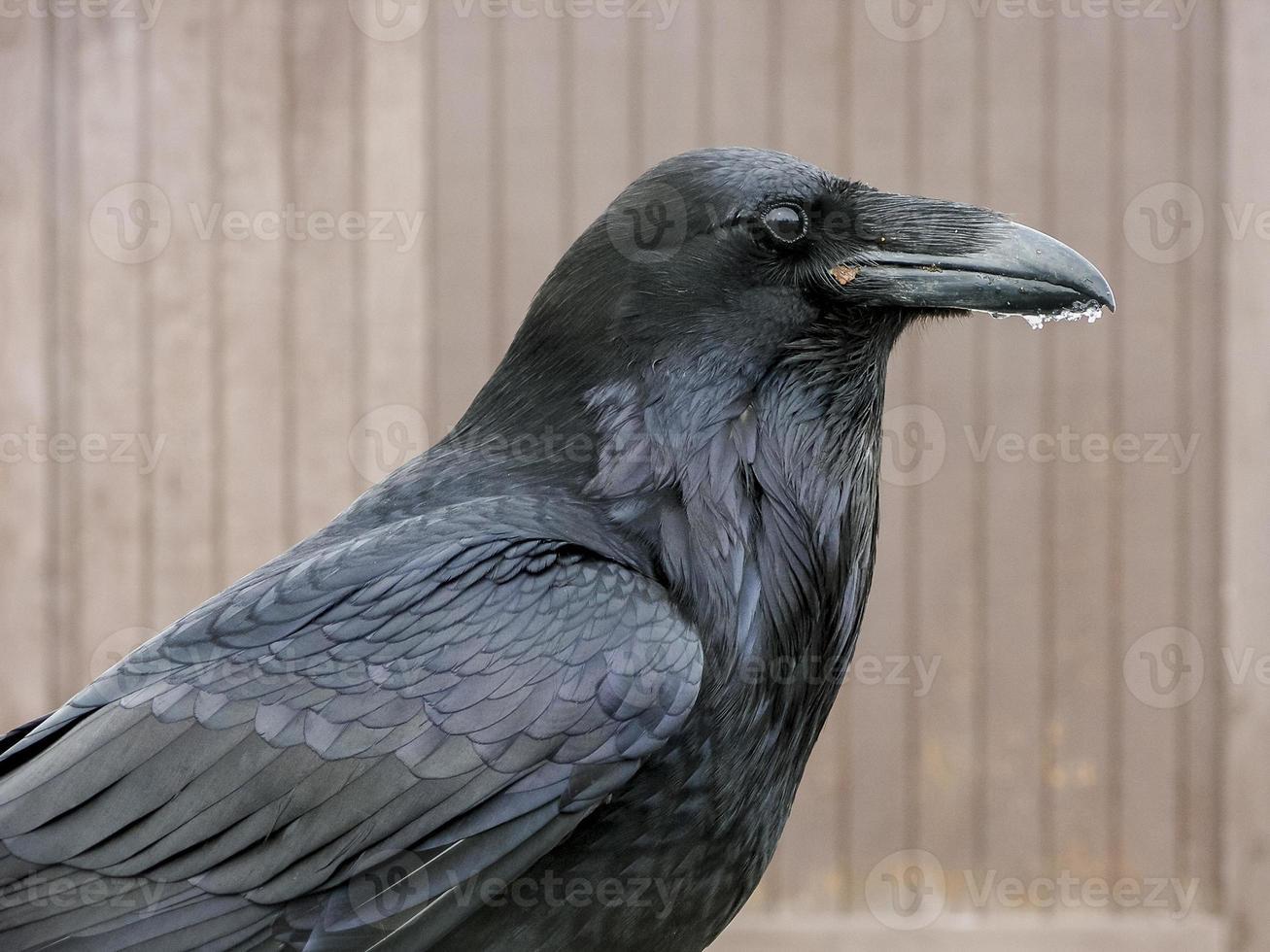 primer plano de cuervo foto