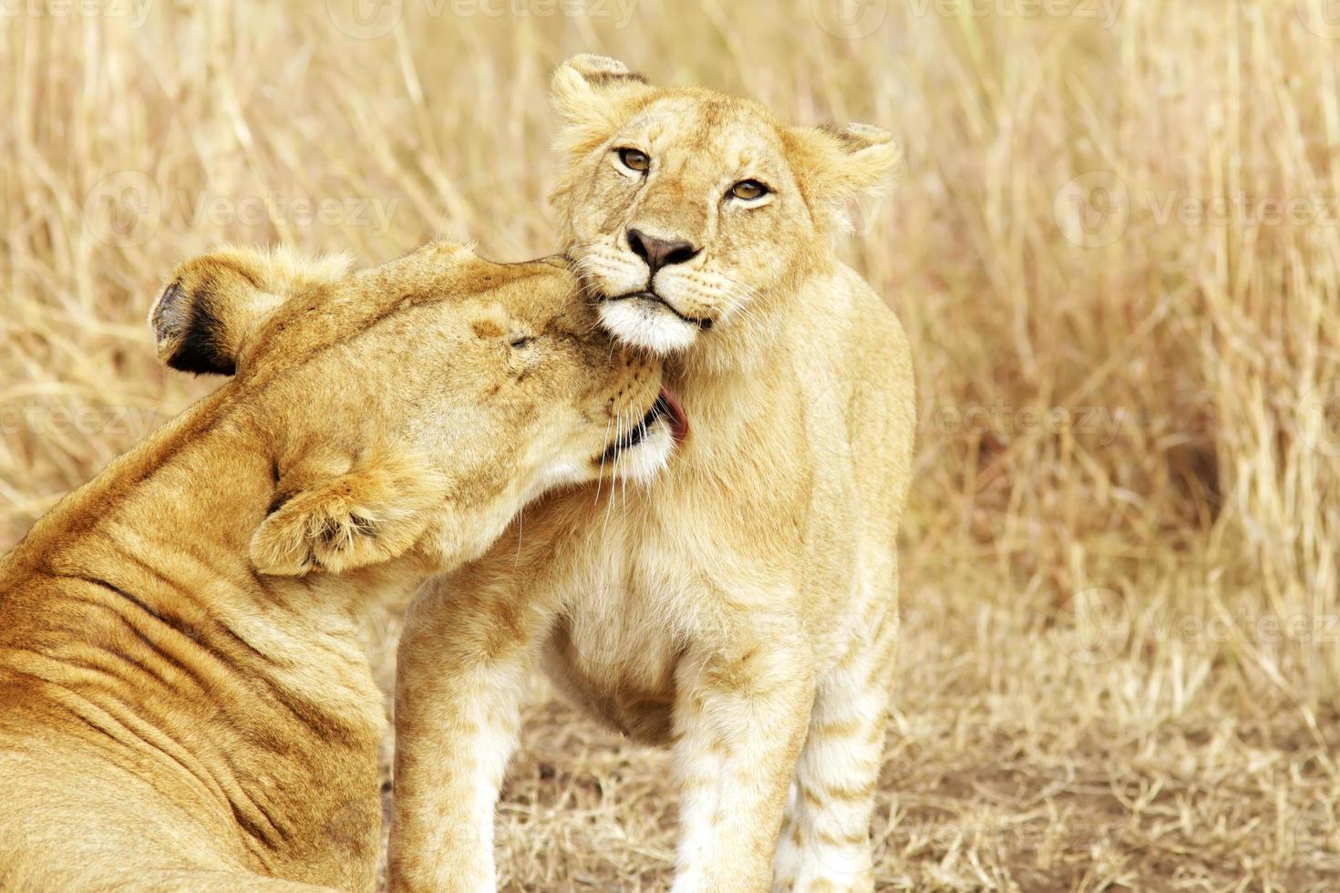 masai mara cachorro de león foto