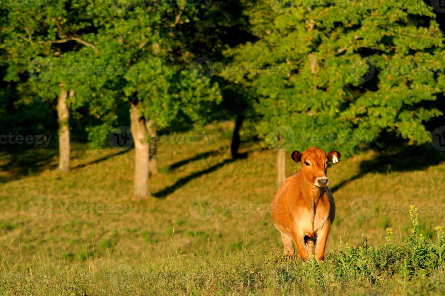 vaca feliz foto