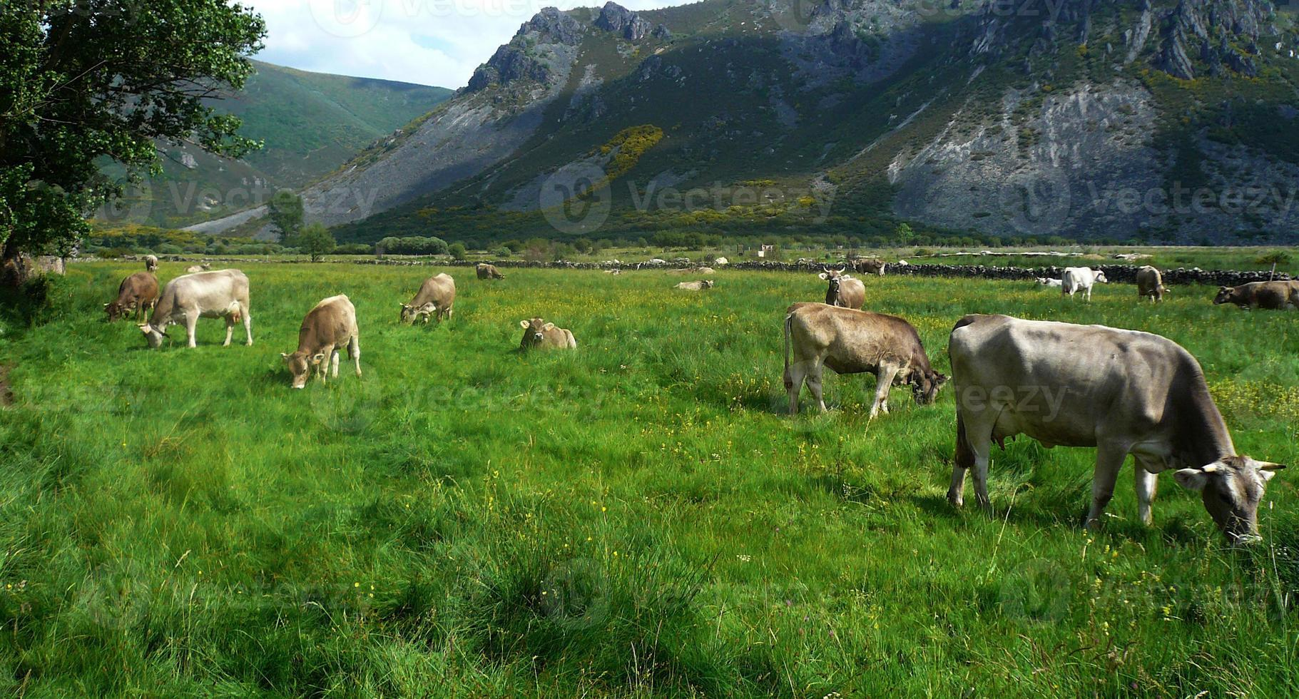 vacas / vacas foto