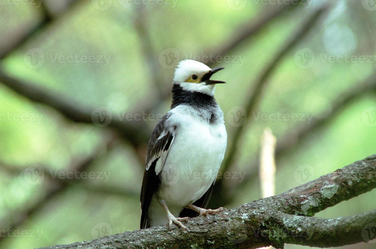 Black-winged starling photo