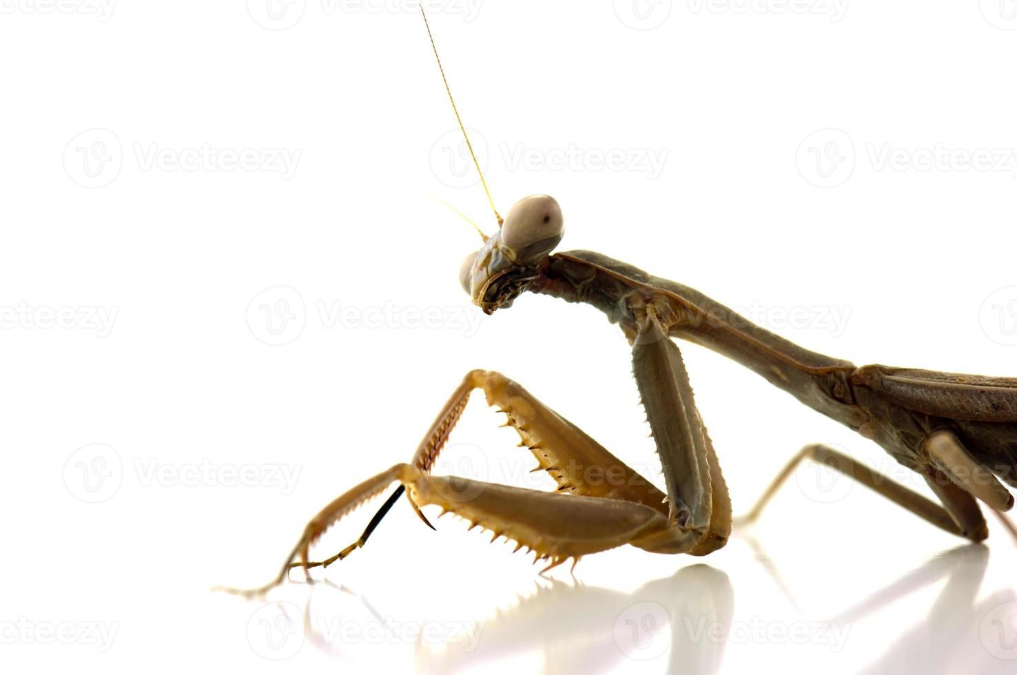 mantis religiosa en blanco foto