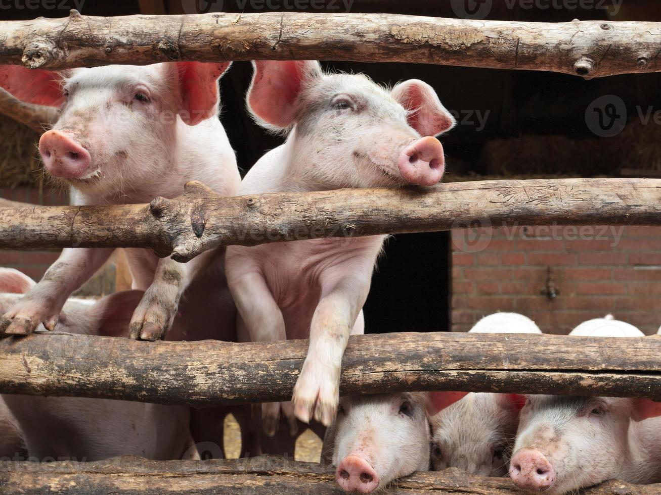 Newborn curious pigs in a stable photo