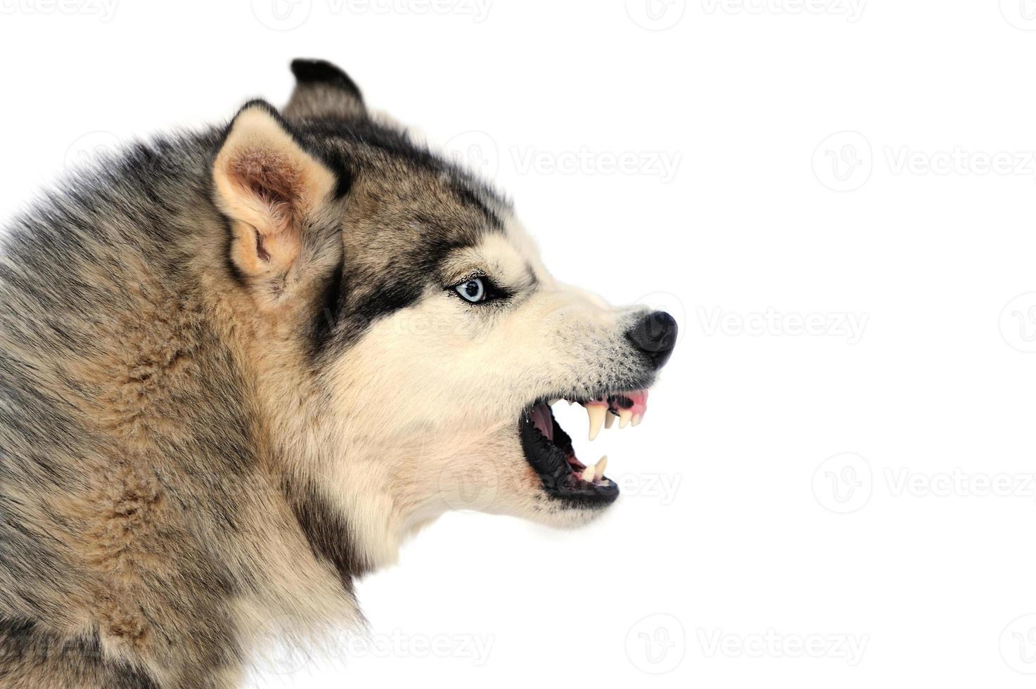 perro enojado foto
