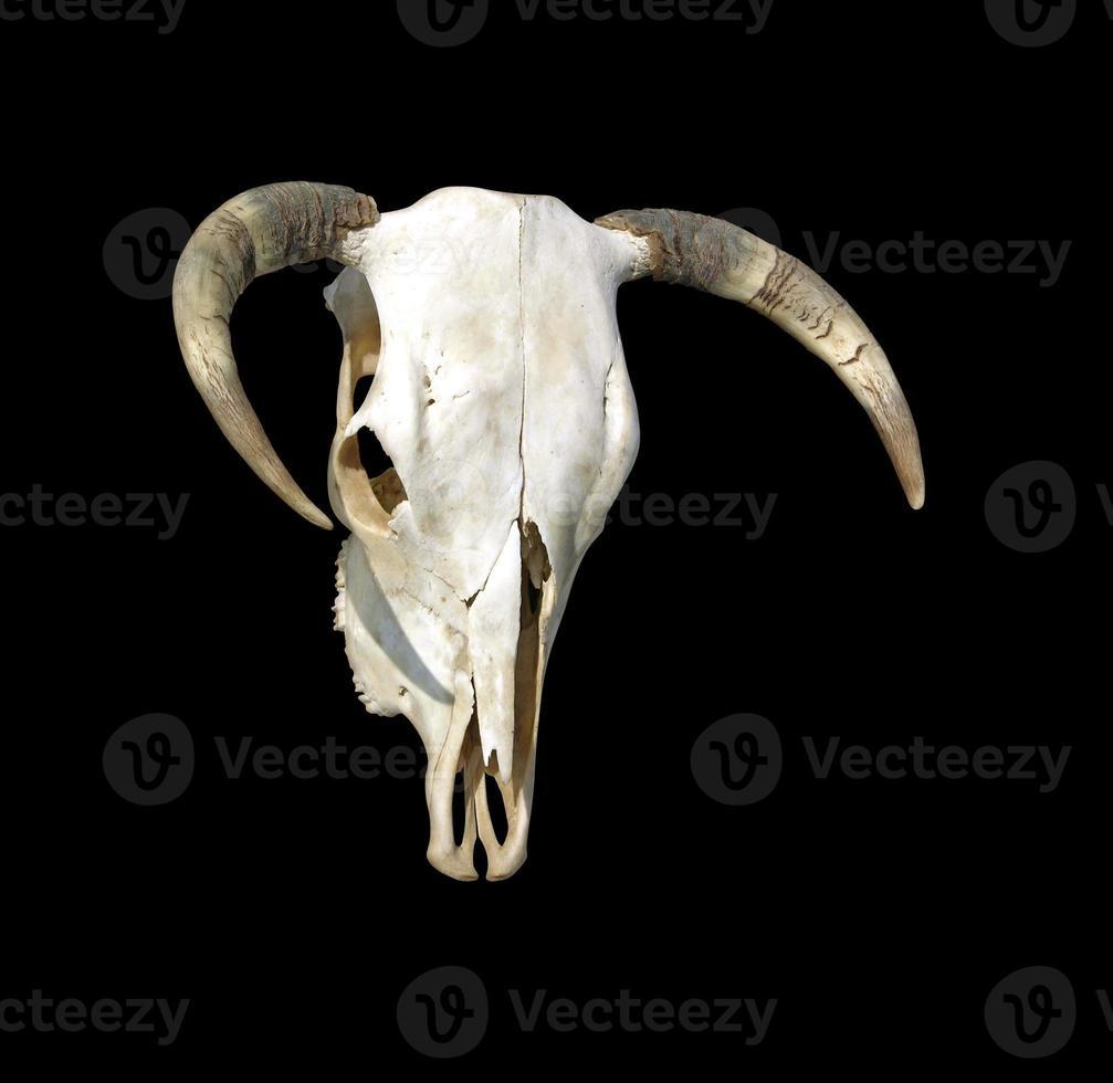 cráneo de vaca foto