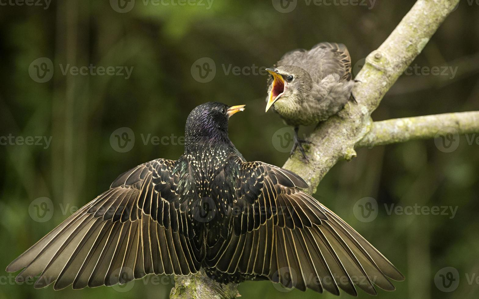 estornino, posado en una rama alimentando a su bebé foto