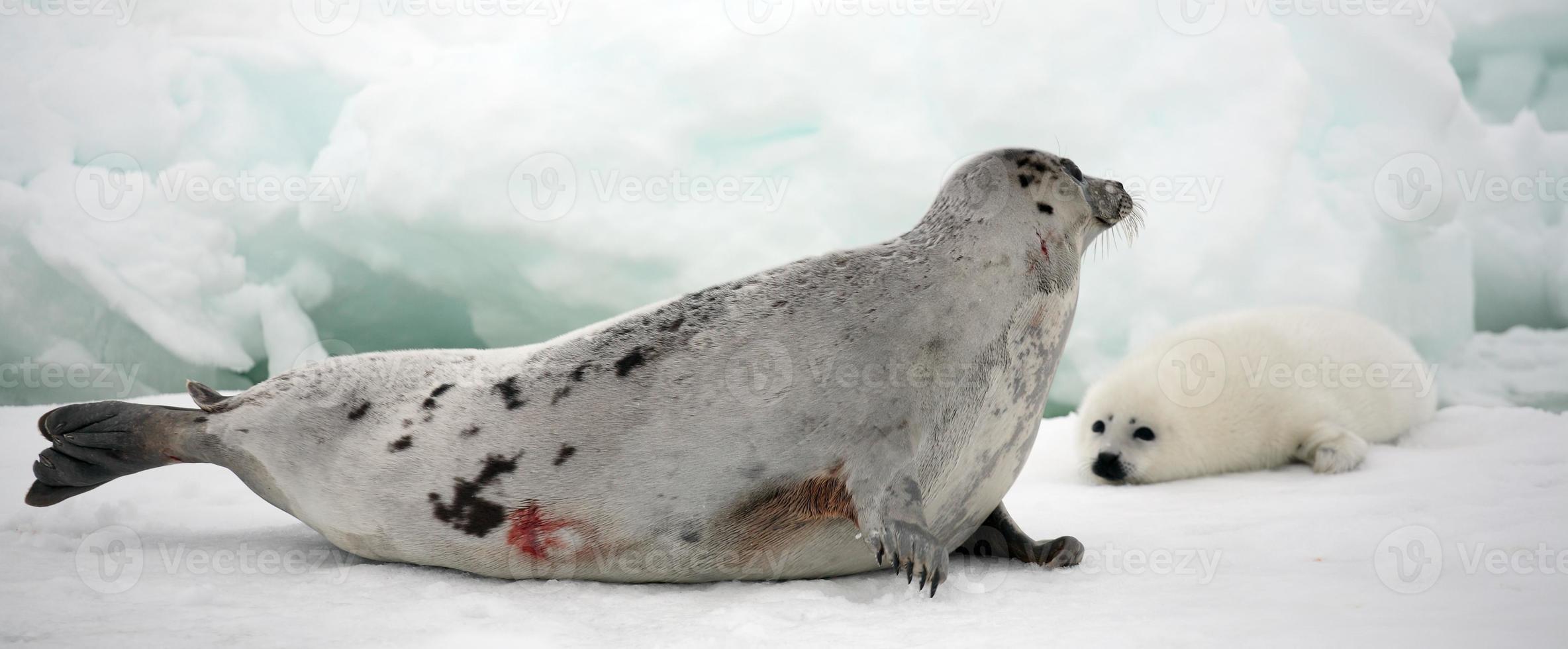 foca arpa madre vaca y cachorro recién nacido en hielo foto