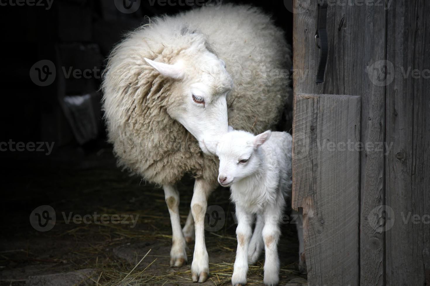 Maternal instinct. Sheep and lamb. photo