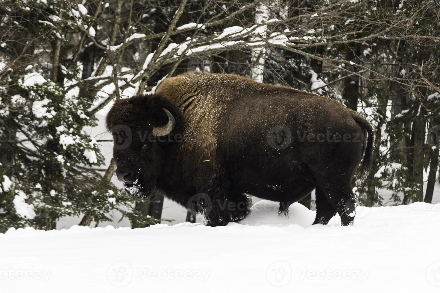 gran búfalo de campo americano en invierno foto