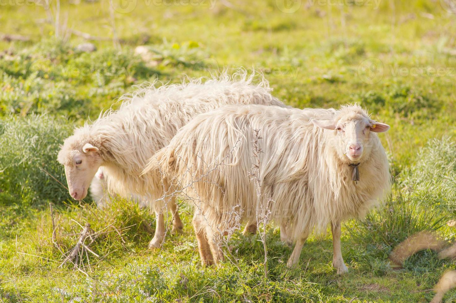 two sheep opposing in the grass photo