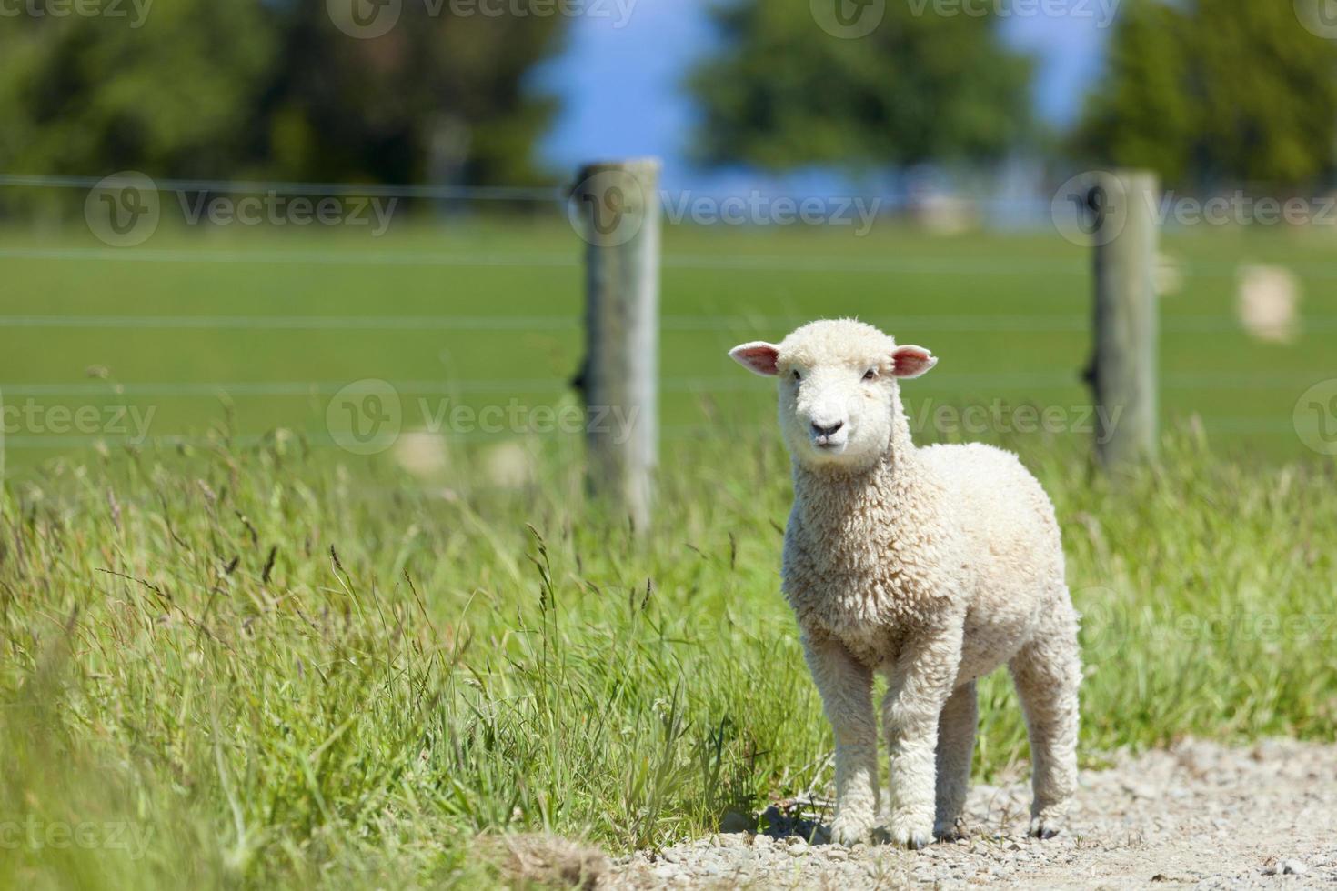 Baby lamb photo