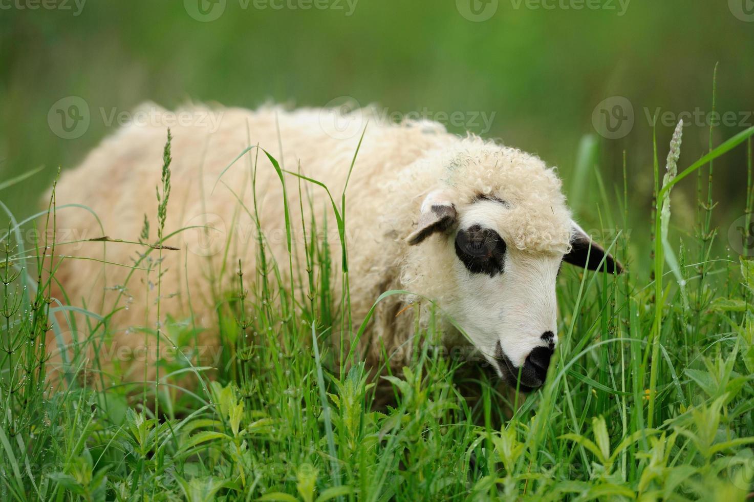 Flock sheep on a summer field photo