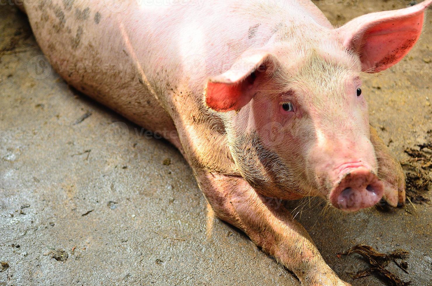 single pig at an farm photo