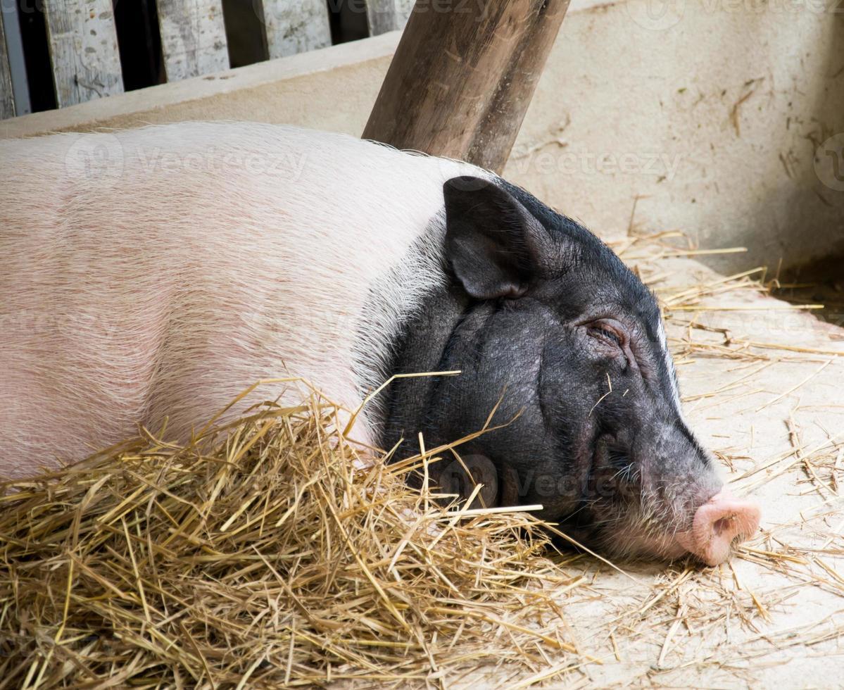 cerdo dormido foto