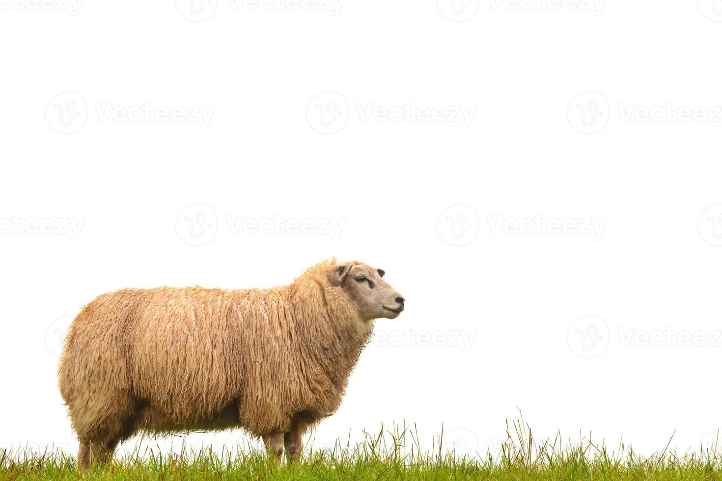 Mature sheep isolated on white photo