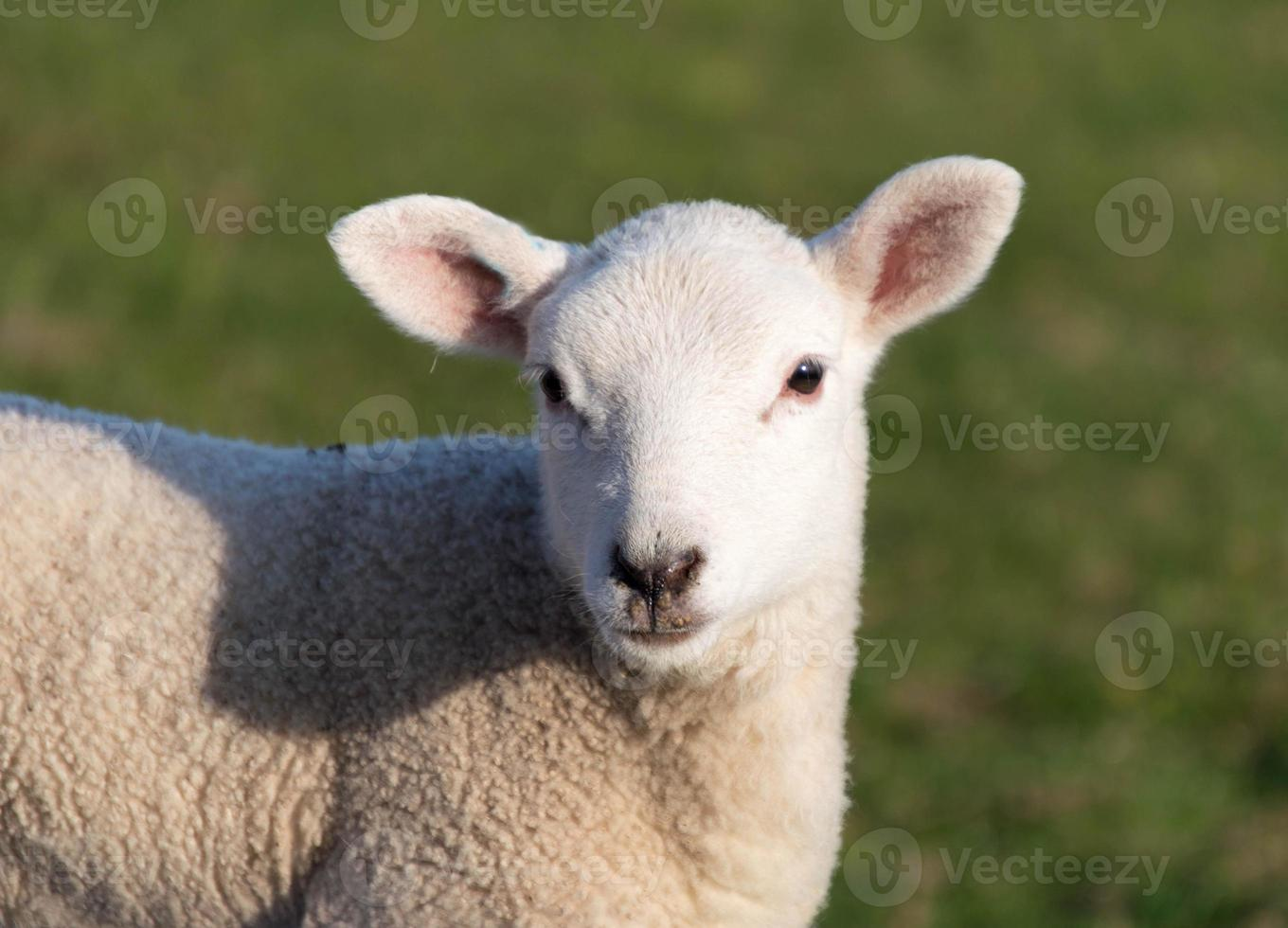 Close up portrait of a baby lamb in a field photo