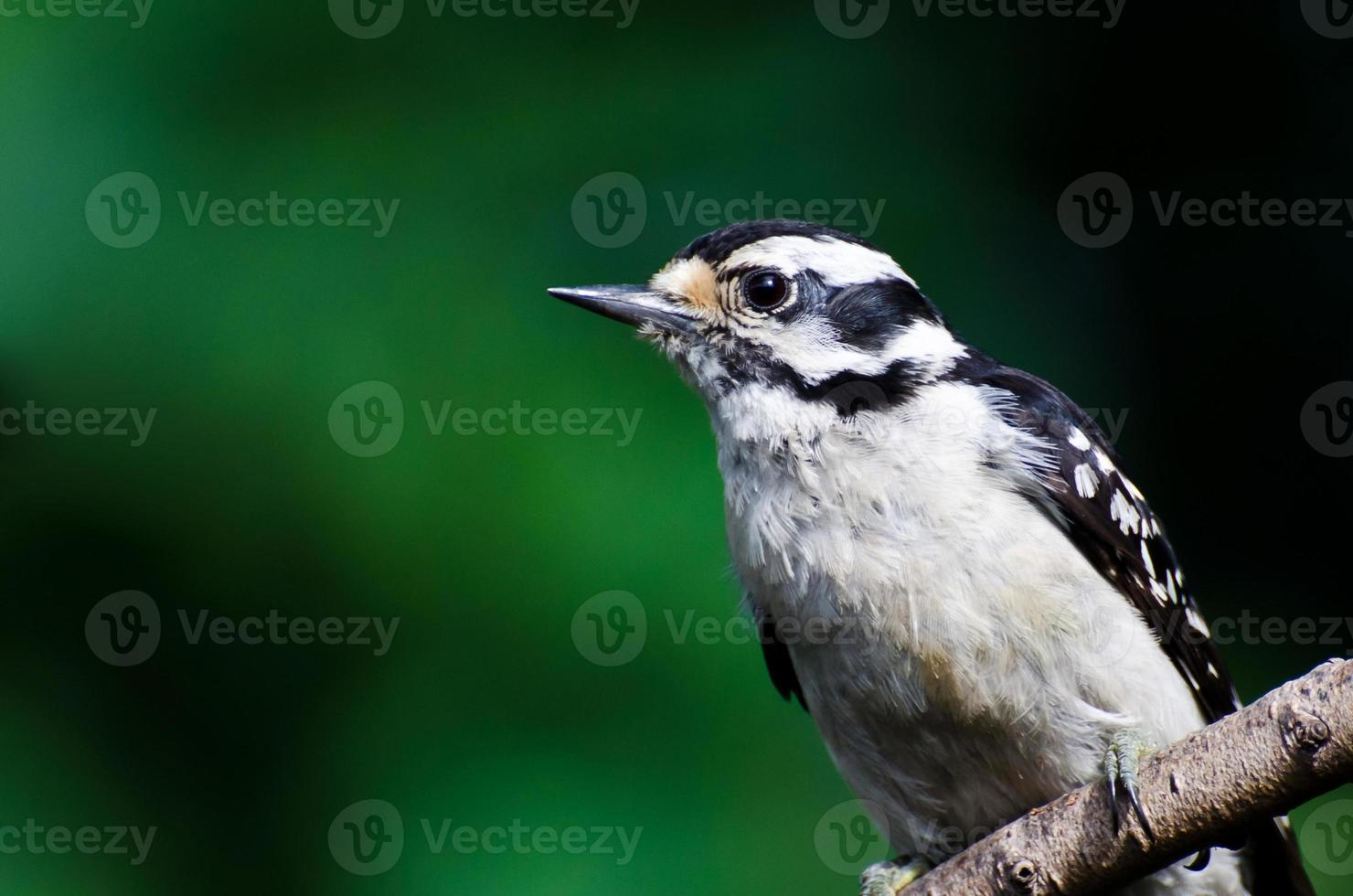 Downy Woodpecker Against a Green Background photo