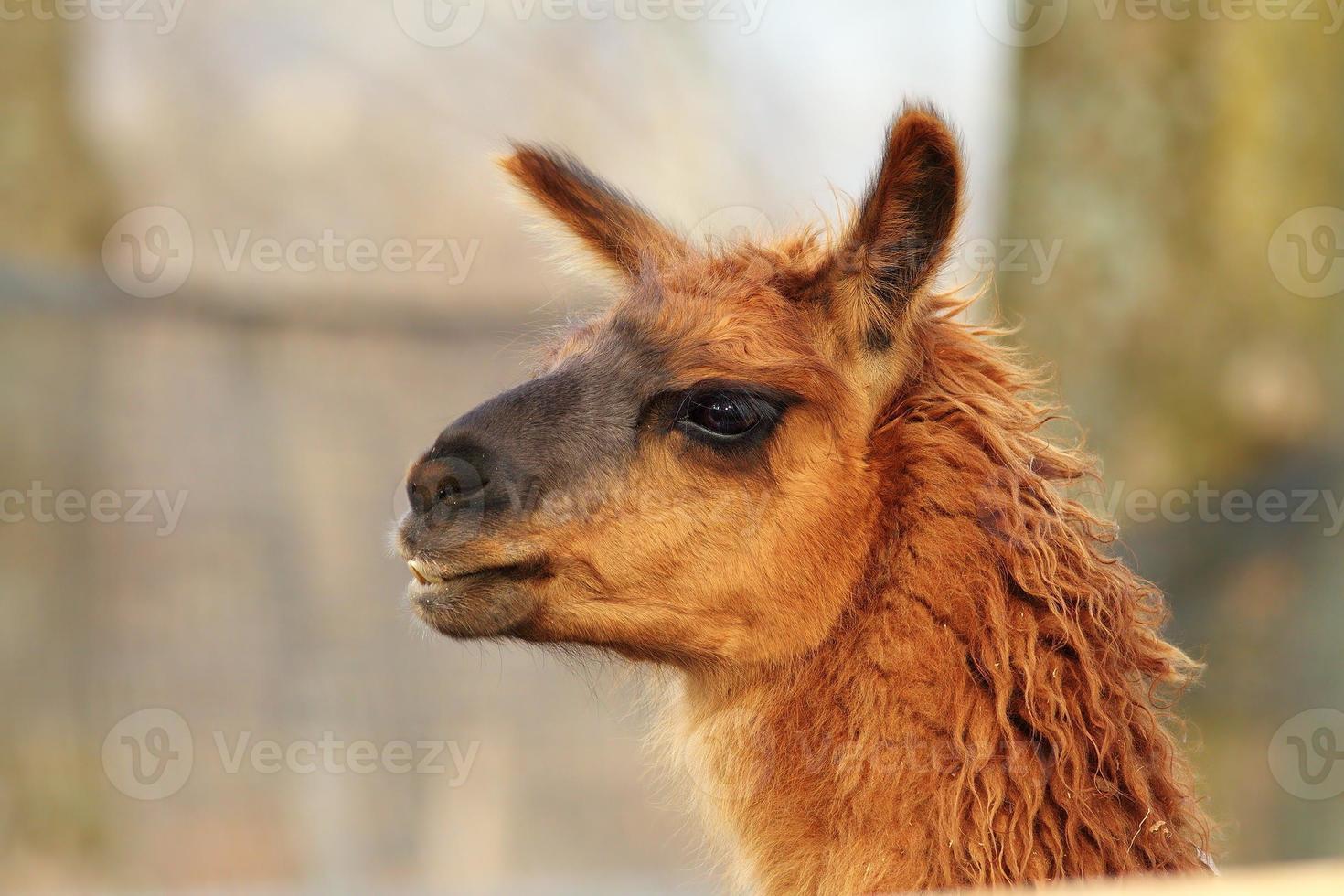 llama head close-up photo