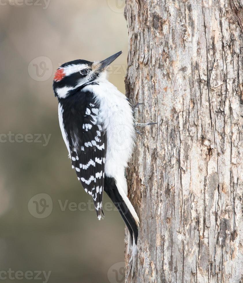 Male Hairy Woodpecker in Winter photo