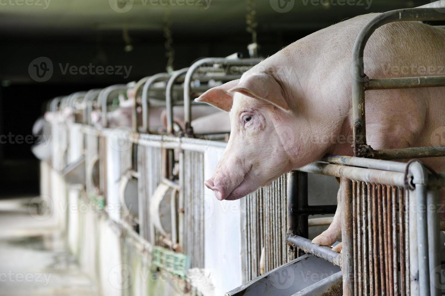 cerdos hambrientos foto