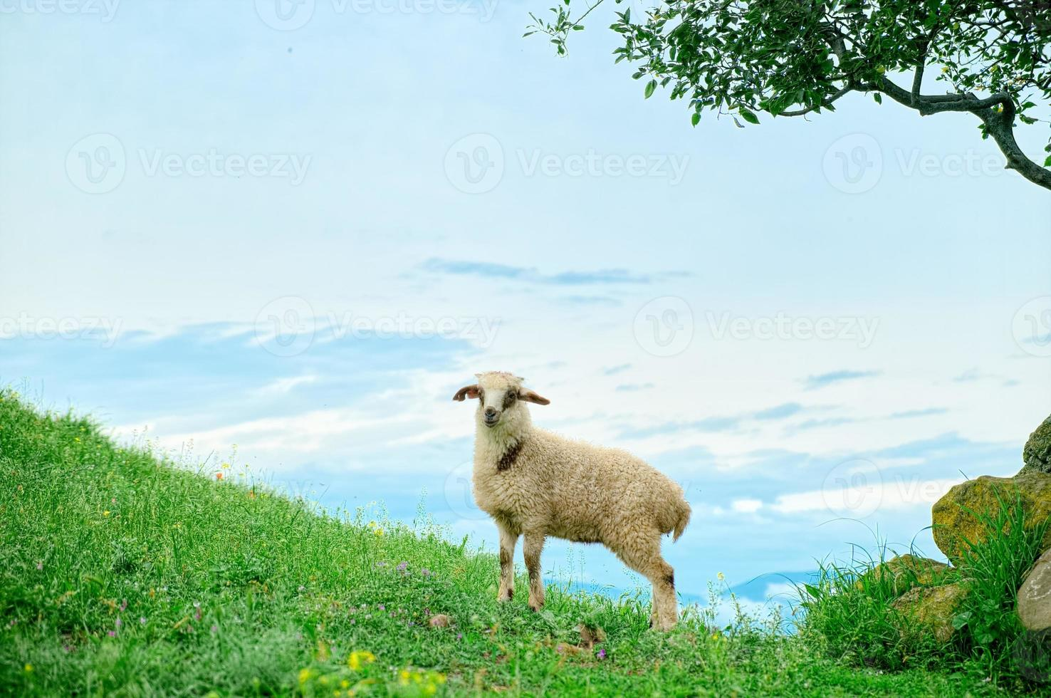 Grazing lamb in mountains photo